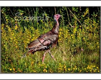 Wild Turkey Fine Art Photo Card