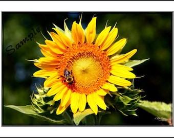 Sunflower Fine Art Photo Card