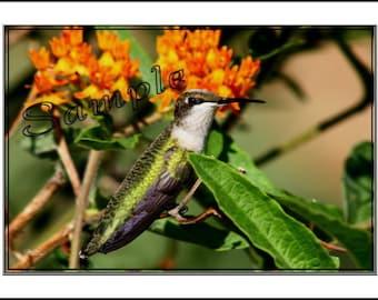 Humming Bird Fine Art Photo Card