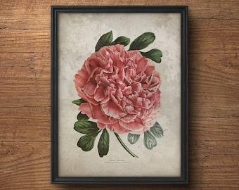Pink peony botanical print, Peony art, Peony poster, Vintage botanical illustration, Botanical wall decor, Pink flower, Large wall art