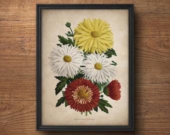 French Botanical Print, Chrysanthemum Print, Botanical Prints, Botanical illustration, Botanical Art, Vintage Botanicals, Flower print