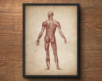 Anatomy print, Anatomy poster, Muscular system print, Human anatomy poster, Medical print, Anatomical drawing, Human anatomy, Wall art