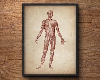Anatomy poster, Anatomy print, Muscular system print, Human anatomy poster, Medical print, Anatomical drawing, Human anatomy, Wall art