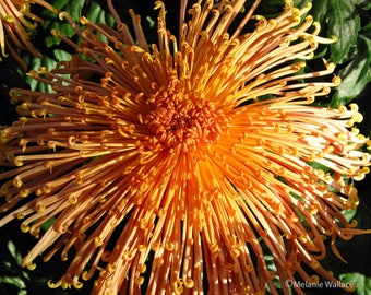 "Orange ""Spider"" Mum"