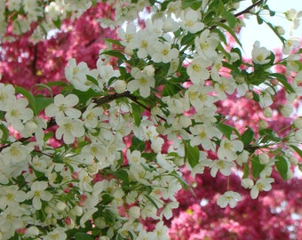 Blossoms in Spring