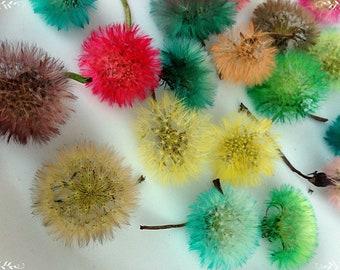 Colored dandelions, Dandelion Heads, Flower dandelions, Floristics, Heads of colored dandelions, Dandelion fluff, Dandelion seeds