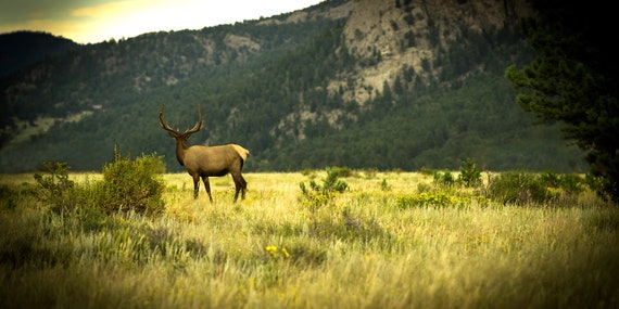 Elk In Rockies