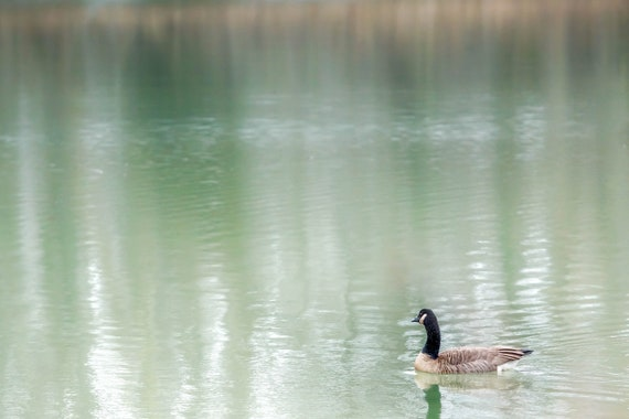 Goose on Lake