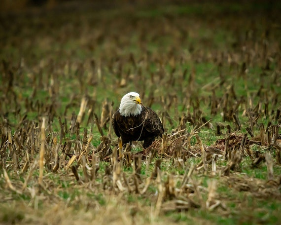 Bald Eagle and Her Stick