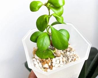 Hoya panchoi iml0249