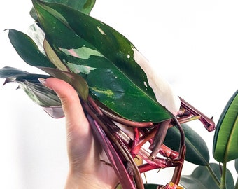 Philodendron Pink Princess Cutting Unrooted