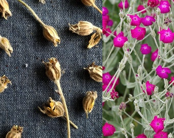 ROSE CAMPION (30 seeds) Lychnis coronaria- Lovely Magenta Flowers, Easy To Grow,