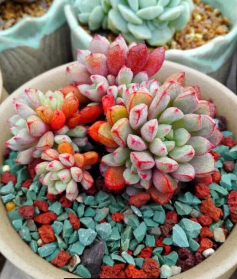 Echeveria subcorymbosa rare succulent 10 seeds image 0