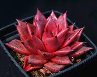 Echeveria agavoides romeo, rare succulents, 10 seeds