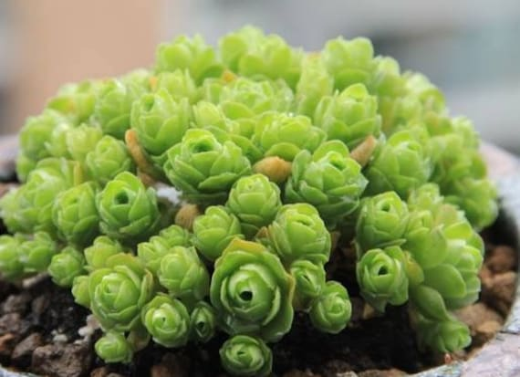 10 Graines Greenovia diplocycla MOUNTAIN rose RARE succulente