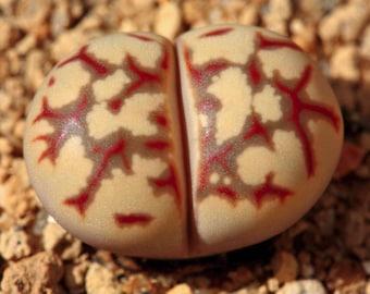 Lithops dorotheae, living stone, rare succulent, 10 seeds