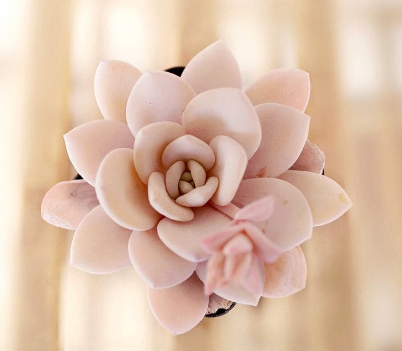 Echeveria laui 10 seeds rare succulent pink succulent image 0