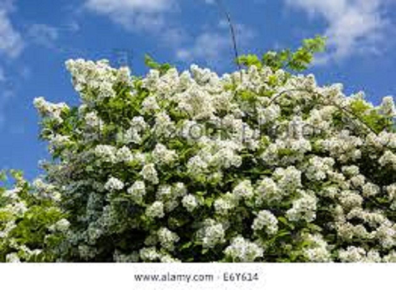 One Rosa Multiflora Climbing Perennial Fragrant White Flower Etsy