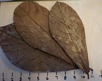 Premium Organic Indian Almond Leaves XL