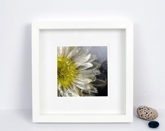 Limited Edition Photograph - Floral Wall Art - Yellow & White Daisy Flower - Frozen Still Life - Botanical Print - Ideal Gift