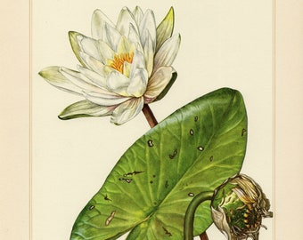 1797 Authentic Antique Water Lilies Aquatic Plants Wildflower Print Botanical Natural History Wall Art Home Decor