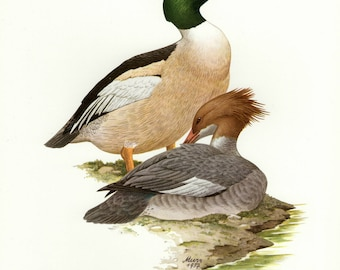 Vintage lithograph of the common merganser or goosander from 1957
