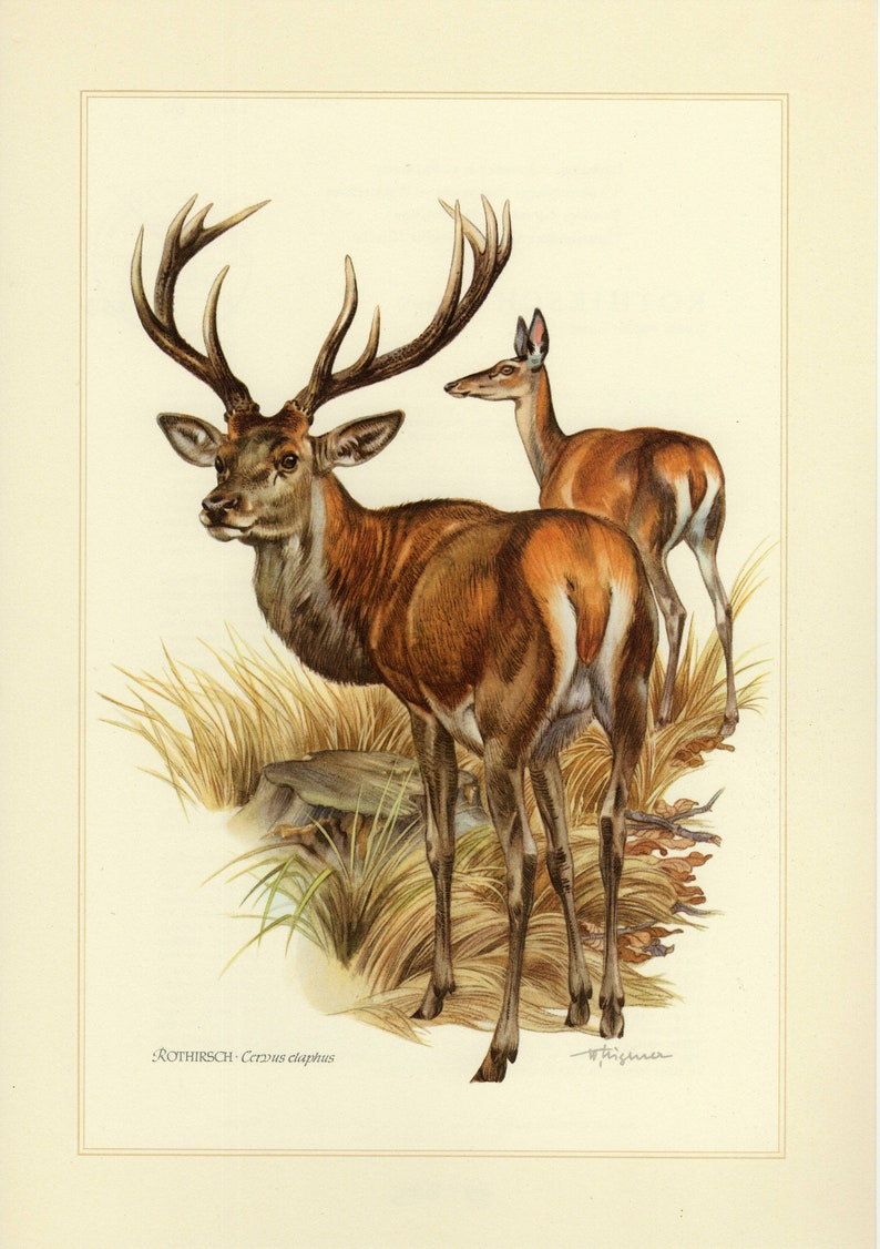 RED DEER vintage lithograph from 1956 CHECK the description
