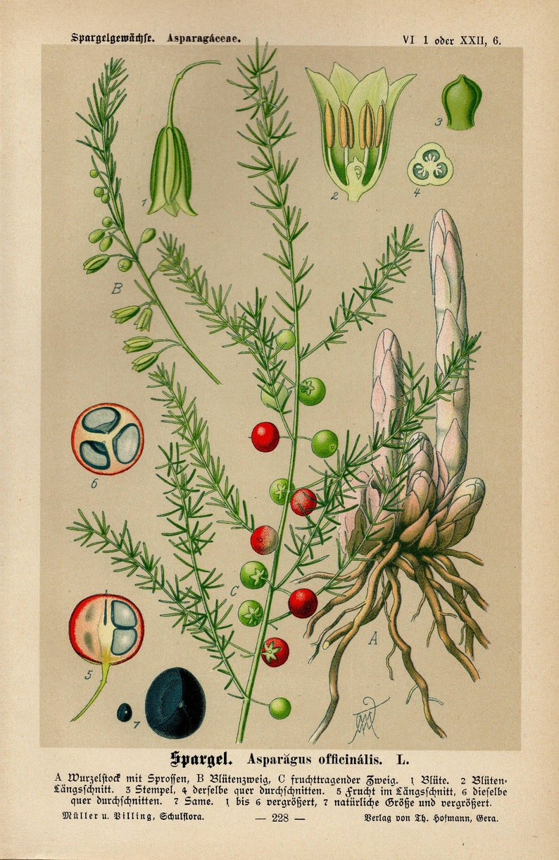 ASPARAGUS Print Vintage lithograph from 1894