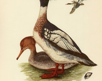 Vintage lithograph of the red-breasted merganser from 1953