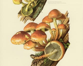 Vintage lithograph of the brick cap and sulphur tuft from 1964