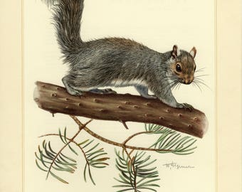 Vintage lithograph of the eastern gray squirrel from 1956