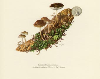 Vintage lithograph of the sprucecone cap or spruce-cone toadstool from 1963