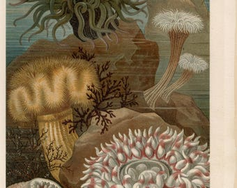 Antique lithograph of actiniaria, sea anemones from 1897