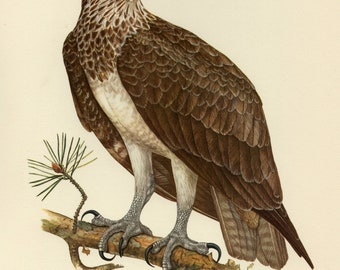 Vintage lithograph of the osprey, sea hawk, river hawk or fish hawk from 1953