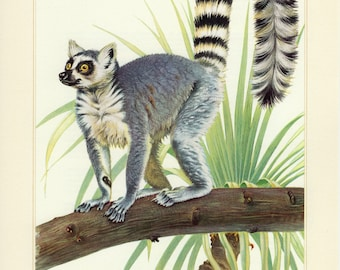 Vintage lithograph of the ring-tailed lemur from 1956
