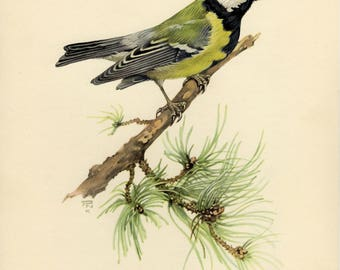 Vintage lithograph of the great tit from 1953