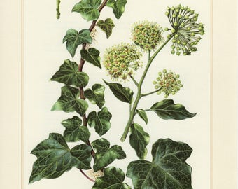 Vintage lithograph of English or common ivy from 1958