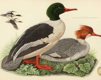 Vintage lithograph of the common merganser or goosander from 1953
