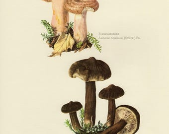 Vintage lithograph of the woolly milkcap, lactarius lignyotus and lactarius torminosus from 1963