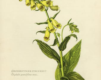 Vintage lithograph of the yellow foxglove, big-flowered foxglove or large yellow foxglove from 1955