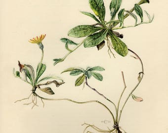 Vintage lithograph of the mouse-ear hawkweed from 1953