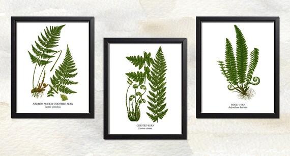 Botanical Print Set - FERN COLLECTION 219 - Set of Three Prints - 5x7 - 8x10, 11x14 or 16x20.  Restored Illustrations - Fine Art Quality