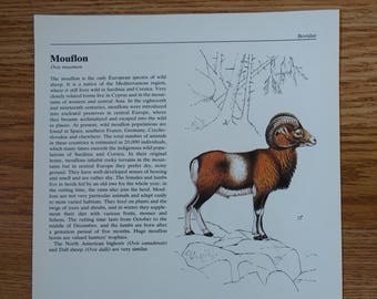 Vintage Field Guide Plate, Double-sided, Bison & Mouflon