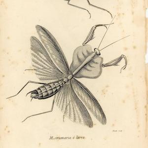 NOT REPRODUCTION Original 1805 Insect Print Antique Art Wall Decor