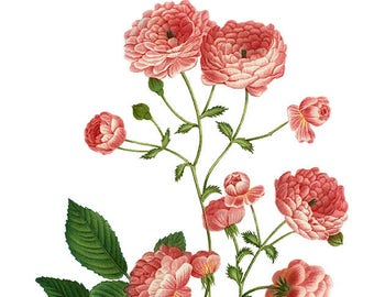 Vintage Rambler Rose, Rosier multiflore, Redoute, Flower Clipart, Botanical Clipart