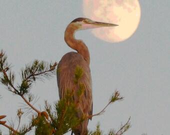 Great Blue Heron at Moonrise