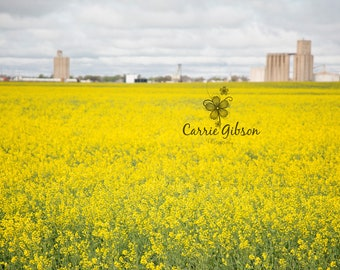 Canola field 3