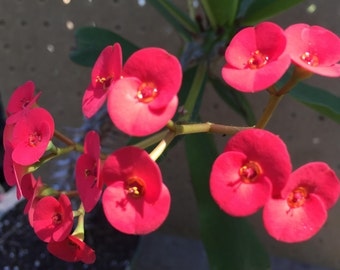 Euphorbia Millii - Red Crown of Thorns