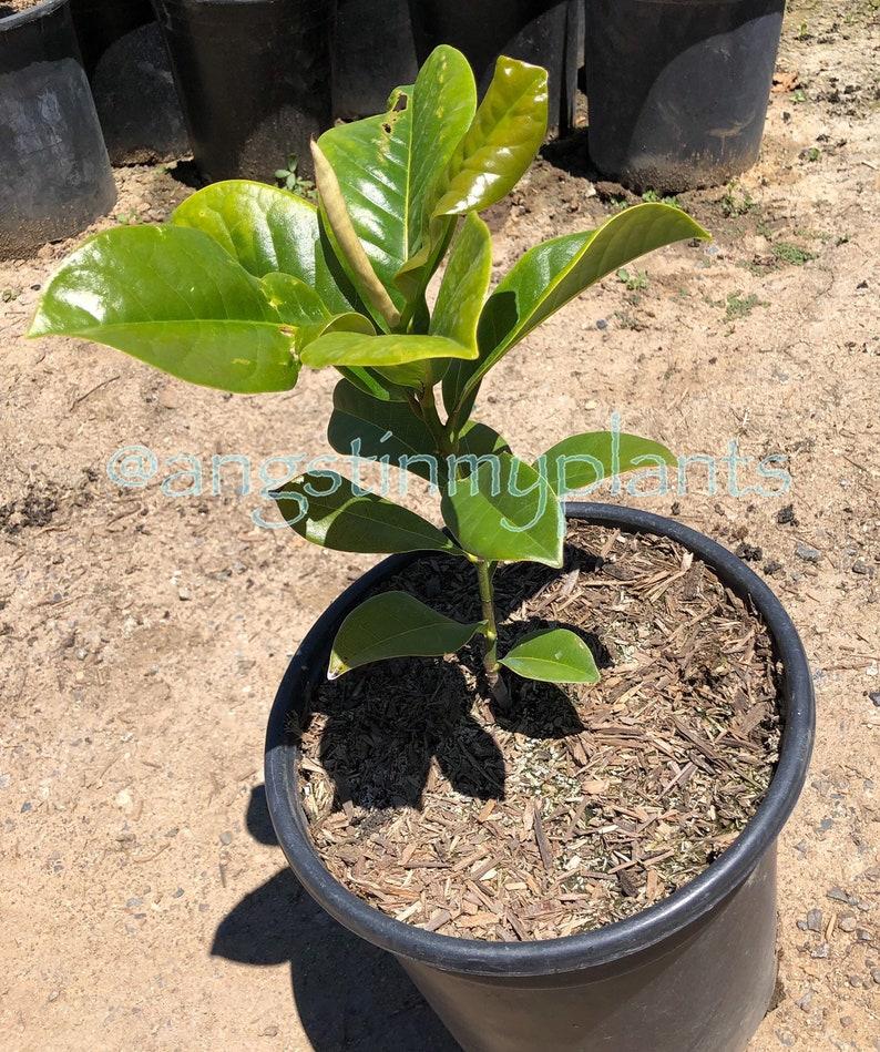 Magnolia grandiflora TRN Southern Magnolia 5 Gallon