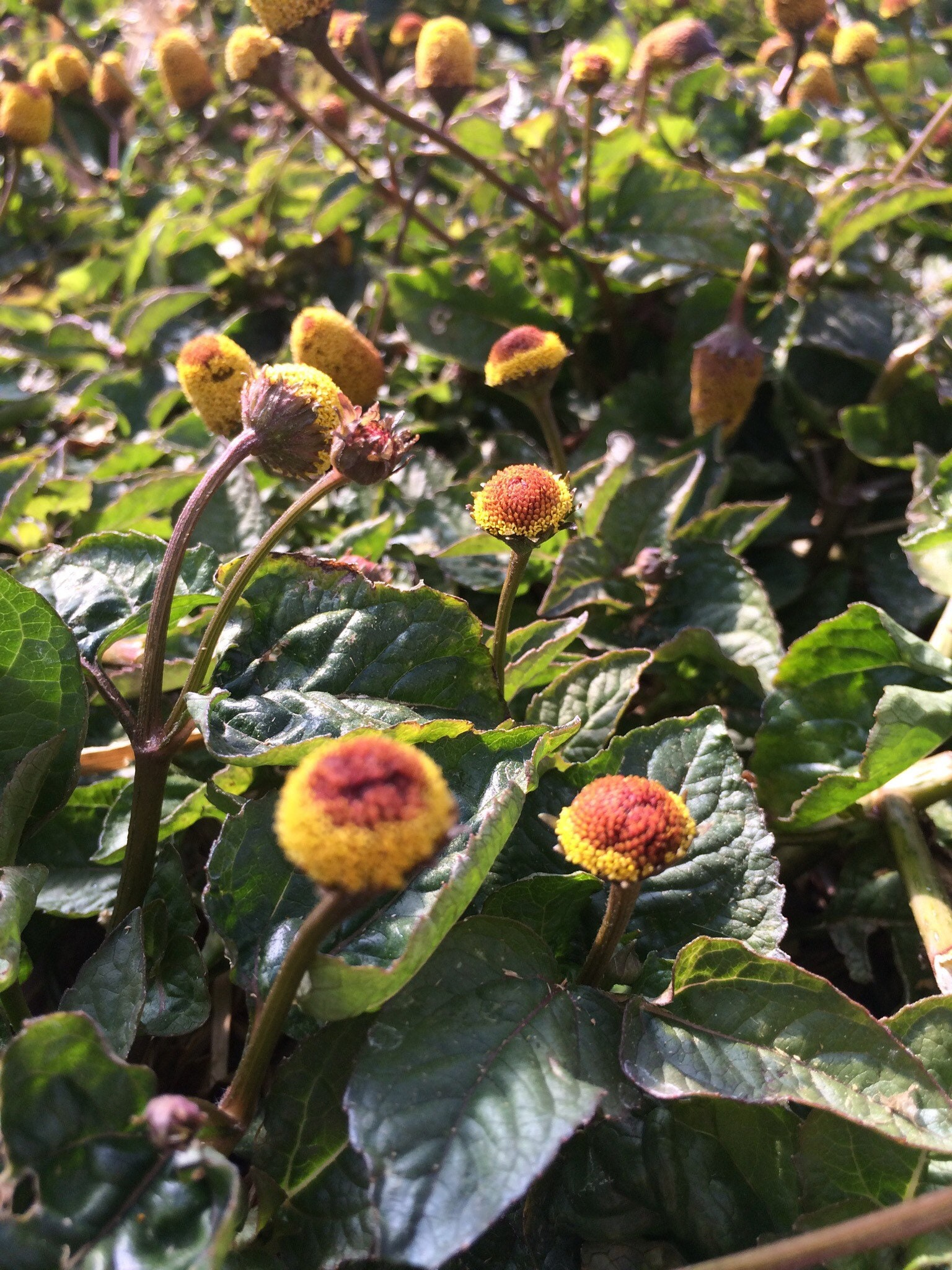 Toothache Plant Organic Spilanthes Seeds Topical Numbing Acmella Oleracea 50